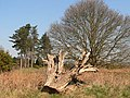 Tree stump - geograph.org.uk - 377318.jpg