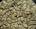 Tremella diploschistina Millanes, M. Westb., Wedin & Diederich 590906 2013-04-19.jpg