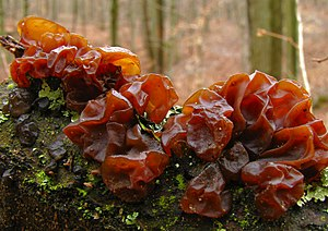 Tremella foliacea 37779 cropped.jpg