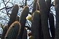 Trichocereus chiloensis ssp australis (30126672386).jpg