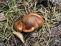 Tricholomopsis rutilans 102042832.jpg