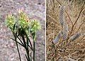 Trifolium angustifolium - Flickr - Dick Culbert.jpg