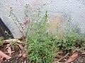 Trifolium arvense 4.jpg