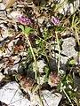 Trifolium resupinatum sl8.jpg