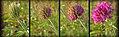 Trifolium thompsonii 6.jpg