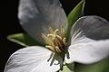 Trillium camschatcense 1.jpg
