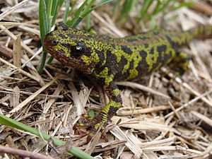 Marbled newt - Marbled Newt in the Peneda-Gerês National Park, Portugal.