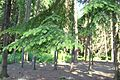 Tsuga heterophylla foliage 2.JPG
