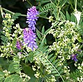Tufted Vetch - Vicia cracca - geograph.org.uk - 195045.jpg