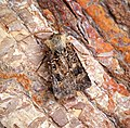 Turnip Moth (30450287138).jpg