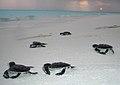 Turtle hatchlings noonu atoll maldives.jpg
