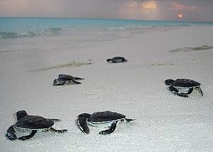 Noonu Atoll - Image: Turtle hatchlings noonu atoll maldives