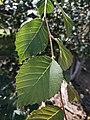 U. harbinensis leaves.jpg