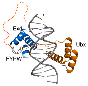 Fuzzy complex - The fuzzy linker region (shown by dotted line) of the Ultrabithorax transcription factor (orange) connects the homedomain with the Extradenticle homedomain (blue) (PDB code 1bi). Alternative splicing modulates the length of the fuzzy region and thus its DNA (grey) binding affinity. Other regulatory fuzzy regions of Ultrabithorax are also shown by dotted lines.