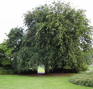 Ulmus 'Den Haag' - 'Den Haag', Preston Park, Brighton