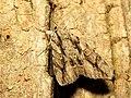 Underwing Moth (28515995034).jpg
