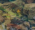 Unidentified Astacus in Ruisseau d'Audiernes.jpg