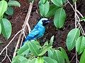 Unidentified Thraupidae 04-IMG 3826.jpg
