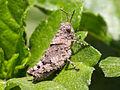 Unidentified grasshopper on leaf, Sambisari Temple, Yogyakarta, 2014-09-28 02.jpg