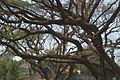 Unidentified trees in CRB (01).jpg