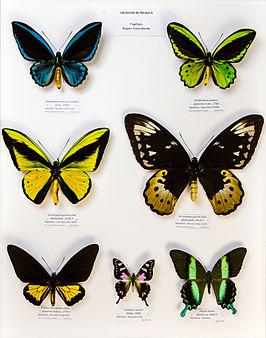 Université de Rennes 1, collection Charles Oberthür, papillons, région australienne.jpg