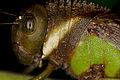 Unknown Romaleidae (14525519812).jpg