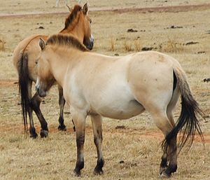 """Dun gene - Przewalski's horses:  The animal on the left shows the dorsal stripe along its spine, the one on the right shows faint horizontal """"zebra"""" striping on the back of its legs by the knee (click image to enlarge), both classic examples of """"primitive"""" dun markings"""