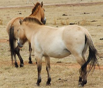 "Dun gene - Przewalski's horses:  The animal on the left shows the dorsal stripe along its spine, the one on the right shows faint horizontal ""zebra"" striping on the back of its legs by the knee (click image to enlarge), both classic examples of ""primitive"" dun markings"