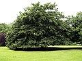 Unusual Tree - geograph.org.uk - 865778.jpg