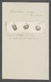Urceolaria varia - - Print - Iconographia Zoologica - Special Collections University of Amsterdam - UBAINV0274 113 21 0025.tif