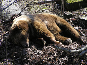 Eurasian brown bear - Eurasian brown bear resting