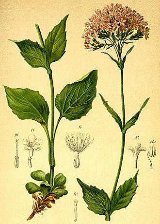 Valeriana - Image: Valeriana montana Atlas Alpenflora