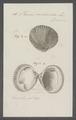 Venus cardioïdes - - Print - Iconographia Zoologica - Special Collections University of Amsterdam - UBAINV0274 077 12 0017.tif