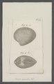 Venus exarata - - Print - Iconographia Zoologica - Special Collections University of Amsterdam - UBAINV0274 077 11 0007.tif