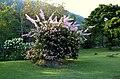 Veranera (Bougainvillea glabra) - Flickr - Alejandro Bayer.jpg