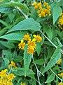 Verbesina serrata - Familia Asteraceae.jpg