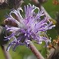 Vernonia cognata- Colinas de Solymar, Canelones, Bañados al margen de la Ruta Interbalnearia.JPG