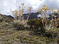 Via Gavidia - Tabay (Paramo) (Sierra Nevada-Merida) (30).JPG