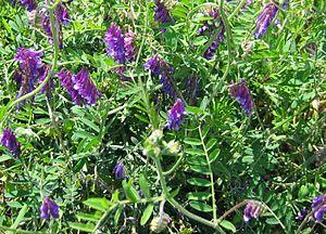 Vicia villosa - Image: Vicia villosa