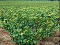 Vignes Bourgogne 2.jpg