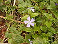 Vinca major (Barlovento) 04.jpg