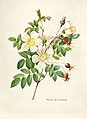 Vintage Flower illustration by Pierre-Joseph Redouté, digitally enhanced by rawpixel 76.jpg