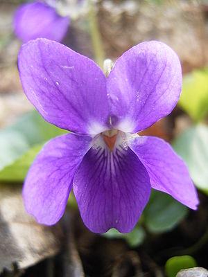 Duftveilchen (Viola odorata), Blüte