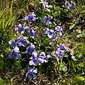 Viola canina-Violette des chiens-20160428.jpg
