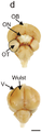 Visual processing areas of the Pigeon brain.png