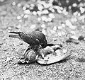 Vogels , boomvalk, duif, Bestanddeelnr 193-0866.jpg