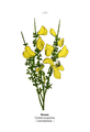 WWB-0025-007-Cytisus scoparius.png