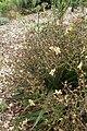 Wachendorfia paniculata kz2.jpg
