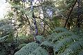 Waipoua Forest, ferns-2.jpg