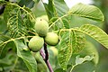 Walnut-tree -.jpg
